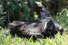Black vulture. A picture of a black vulture resting royalty free stock images