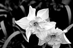 The white Narcissus stock image