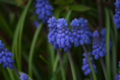 Picture of a blue colored grape hyacinth flower surrounded by green grass Stock Images