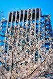 Sakura tree next to office building. Picture of blue modern architecture office building behind the white sakura tree stock photos