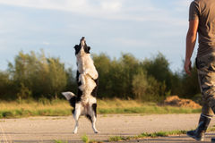 Border collie jumps for a thrown treat Royalty Free Stock Images