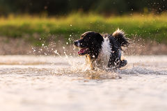 Border collie runs in a lake. Picture of a border collie who runs in a lake Royalty Free Stock Image