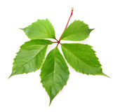 Picture of bright vine leaf over white Stock Photography