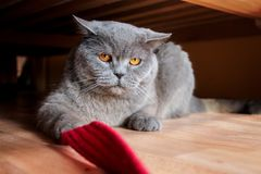 Grumpy british cat under the bed royalty free stock photography