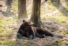 Brown bear. Picture of a brown bear taking a rest under the shadow royalty free stock image