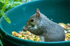 Brown squirrel. Picture of a brown squirrel royalty free stock image