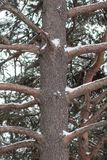 A picture of a brown tree trunk with its branches during winter. royalty free stock images