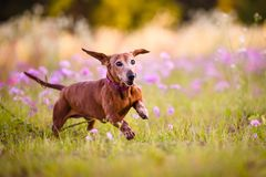 Picture of a brown Wiener dog running. Picture of a Wiener dog running in the park on a warm sunny day royalty free stock photo
