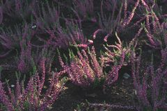 Picture of bushes of heather with a beam of light royalty free stock photo