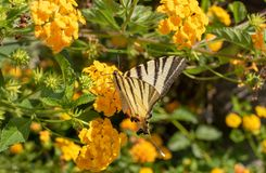 Picture of the butterfly species Sailor Latin Iphiclides podalirius royalty free stock photos