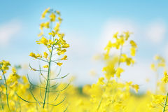 Picture of canola flower and yellow field Royalty Free Stock Photo