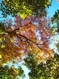UNIQUE PERSPECTIVE OF FALL 1. A picture of the canopy up above using the leaves to frame the portrait naturally stock images