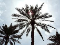 Date Palm growing in Karbala, Iraq blocking the sun and providing shade. This picture captures date palm growing in Iraq blocking the sun and providing shade royalty free stock photos