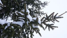 Christas tree cover with snow. Picture of christmas tree cover with snow Stock Images