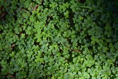 Clovers. Picture of clovers Royalty Free Stock Images