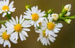 Cluster of Small White Wild Flowers Taken in Late Summer Royalty Free Stock Photos