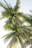 Picture of Coconut palm tree Stock Photography
