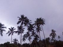 The coconut tree from sri lanka royalty free stock photos