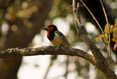 Colorful Black Collared Barbet Stock Photos