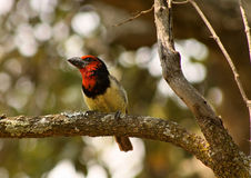 Portrait Colorful Black Collared Barbet Stock Photography