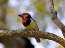 Picture of Black Collared Barbet Stock Photos