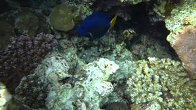 Picture of colorful fishes yellowtail tang fish Zebrasoma xanthurum. Colorful Reef and Yellowtail Tang Fish. Picture of beautiful underwater colorful fishes stock video footage
