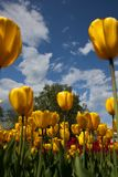 Picture of tulips against blue sky Stock Images