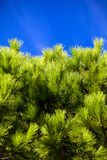 Picture of conifer against the blue sky. At sunny day Royalty Free Stock Image