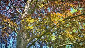 Copper beech royalty free stock images