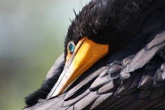 Cormorant. A picture of a cormorant bird Stock Photography