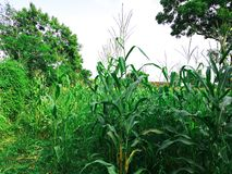 The picture of corn tree stock image