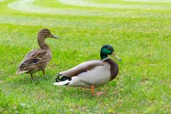 Two duck mallards on green grass. Picture of couple male female two duck mallards walking on green grass Royalty Free Stock Photo