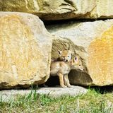 Coyote pups stock photos