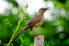 Curved bill thrasher. A picture of a curved bill thrasher bird sitting on a post Royalty Free Stock Image