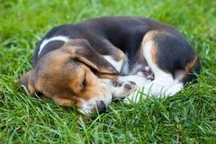 Beagle puppy sleeping royalty free stock photos