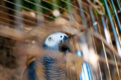 Picture of a cute grey parrot in a cage. stock images