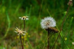 Dandelion in a Garden stock images