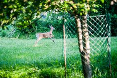 Deer Running Away from Camera stock images