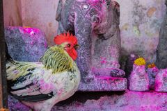 Devotional chicken used in the rituals of God stock photo