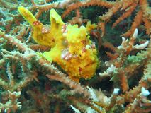Picture of Dive of Philippines. Inside sea Frog Fish Yellow dive site Moalboal to Cebu It`s in Visaya Sea of Philippines stock photo