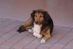 Dog on the patio. A picture of a dog with neat yellow eyes laying on the patio Stock Photo