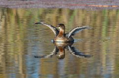 A duck on the lake. A picture of the duck stretching its wings Royalty Free Stock Photography