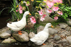 Picture of ducks Stock Images