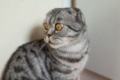 Picture of dun cat sitting on the floor next to the wall Stock Image