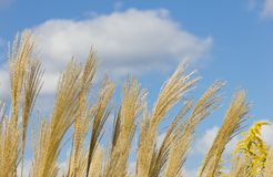 Ear of pampas grass and blue sky Royalty Free Stock Photos