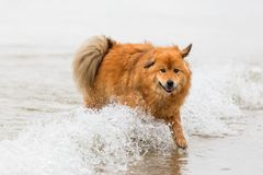 Elo dog runs at the seafront through the water. Picture of an elo dog who runs at the seafront through the water Stock Photography