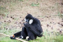 Eating Northern white-cheeked gibbon stock image