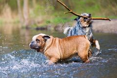 English bulldog and an Australian Shepherd playing in a lake Royalty Free Stock Images
