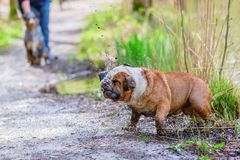 English Bulldog comes dirty out of the water Stock Photo