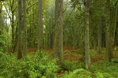 Pacific Northwest forest and Douglas fir tree. A picture of an exterior Pacific Northwest forest with Douglas fir trees stock images